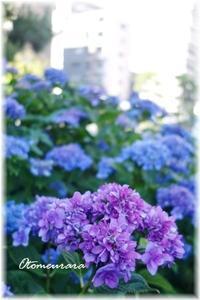 商店街の傍の紫陽花 - 日々楽しく ♪mon bonheur