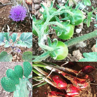 我が家の菜園日記 no.19 ~ 5週間も放置してしまった2017年 夏の畑(涙 - La Tavola Siciliana  ~美味しい&幸せなシチリアの食卓~