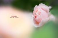 薔薇の残り香 VOL.06 - 君に届け