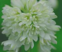梅雨の頃の白い花 - 旅のかほり