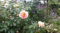 バラが咲く朝2♪ - 今から・花