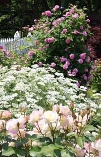 オルラヤ病が蔓延 - HOME SWEET HOME ペコリの庭 *