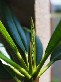 プルメリア・オブツーサ・オブツーサ - Blog: Living Tropically