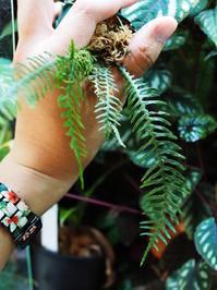 オオクボシダの1種(シボルガ東部産) - Blog: Living Tropically