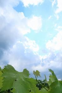 葡萄の粒を間引く - 葡萄と田舎時間
