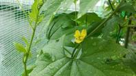 ゴーヤとミニトマト栽培④ - オヤコベントウ