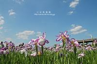 青空の下の小岩菖蒲園の菖蒲の花と紫陽花の花 - 自然のキャンバス