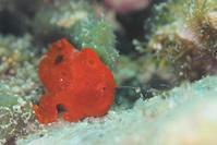 イロカエルアンコウ 幼魚 - Diving Photo