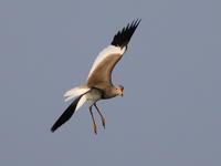 ケリⅡ - 『彩の国ピンボケ野鳥写真館』