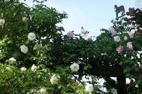 5月17日② 緑美しいバラの庭♪ - Reon&Roses+Lara