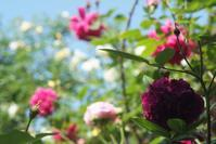 5月18日 晴れて暑くなったらいろんな薔薇が咲いてきた木曜日 - Reon&Roses+Lara