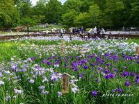 満開の花菖蒲園の風景です。(その3-A) - デジカメ散歩悠々