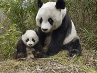 ジャイアントパンダの親子はなぜ、檻の中のあんな冷たい地べたで飼われているのか? - 木村佳子のブログ ワンダフル ツモロー 「ワンツモ」
