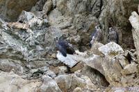 巣立ち前の・・・ハヤブサ親子。 - 野鳥のさえずり、山犬のぼやき