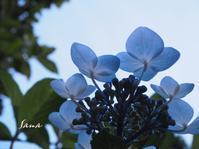 雨あがり…紫陽花 - minaさんぽ