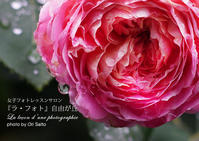 """ZEISS Batis 1.8/85なら、薔薇の涙を撮ることができる - 東京女子フォトレッスンサロン『ラ・フォト自由が丘』の""""恋するカメラ"""""""