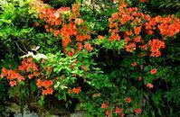 真っ赤なサツキツツジとコアジサイ・・・・カルガモの親子 - 朽木小川より 「itiのデジカメ日記」 高島市の奥山・針畑郷からフォトエッセイ