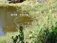 姫河骨復活 - 老朽ため池 あれこれ