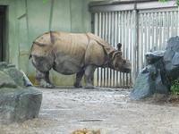 インドサイのニルギリ@東山動物園 2016.06.13 - ごきげんよう 犀たち