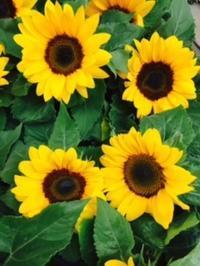 鉢・花苗入荷 - ~ Flower Shop D.STYLE ~ (新所沢パルコ・Let's館1F)