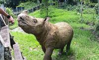 マレーシアのスマトラサイは残り2頭 - クロサイ ブログ ~フウカの種~