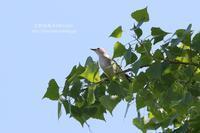 日の丸ほっぺのコムクドリ - 花野鳥風月MISCHEH