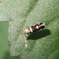 クロギンスジトガリホソガ? Ressia quercidentella? - 写ればおっけー。コンデジで虫写真