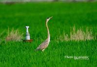 珍しい ムラサキサギ(紫鷺) 飛来 - azure 自然散策 ~自然・季節・野鳥~