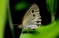 梅雨の晴れ間 その2 - 紀州里山の蝶たち