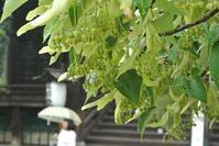 早朝、満開菩提樹の香りに包まれて - 足る