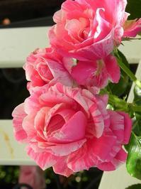 「バラ酒」と「ベリー酒」作り のお知らせ - 心とカラダが元気になるアロマ&ハーブガーデン教室chant rose