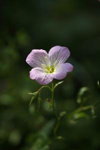 庭に咲く初夏の花 ⑤ 昼咲き月見草と柏葉紫陽花   - 風の彩り-2