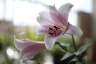 ベランダの花 ~ピンクの百合~ - 鴉の独りごと