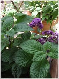 Heliotrope - Garden Diary