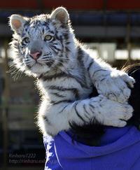 【開催決定!!】岩手サファリパーク☆ホワイトタイガーのマハロお誕生日会【White tiger】 - 青空に浮かぶ月を眺めながら