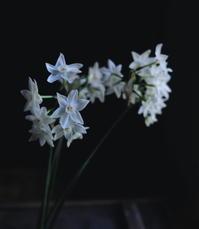 水仙/ Paperwhite - アメリカからニュージーランドへ