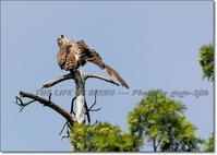 秋になると大群で海を渡る、よく鳴く褐色のタカ - THE LIFE OF BIRDS --- 野鳥つれづれ記