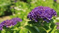 紫陽花の丘 - 晴れ時々そよ風