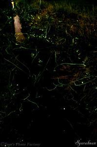 水無月の夜を彩るホタルの群舞 - Tom's Photo Gallery~写楽庵~