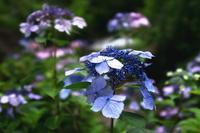 額紫陽花が可愛らしい---自由散歩@撮影 - くにちゃん3@撮影散歩