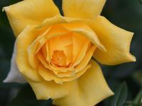 薔薇 - 南都☆花模様