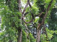 丸い形の樹 - 鹿深の森