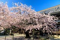 京都の桜2017 本法寺の春 - 花景色-K.W.C. PhotoBlog