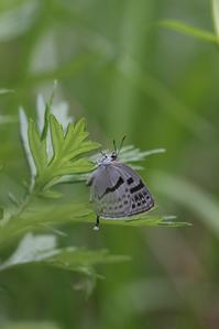 ミズイロオナガがいっぱい・・・ - 蝶超天国