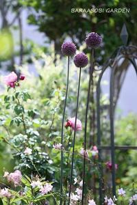 アリウムのその後 - バラと遊ぶ庭