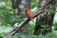 青くないけどSiberian blue robin (Female) - 野鳥写真日記 自分用アーカイブズ