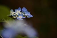 紫陽花 - 四季の予感