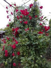 梅雨入りでちょっと一休み - Rose&Farm