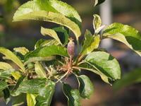 りんごの花 その後 - 八ヶ岳 革 ときどき くるみ