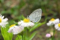 ■ シジミチョウ 3種   17.6.15   (ルリシジミ、ヤマトシジミ、ウラギンシジミ) - 舞岡公園の自然2